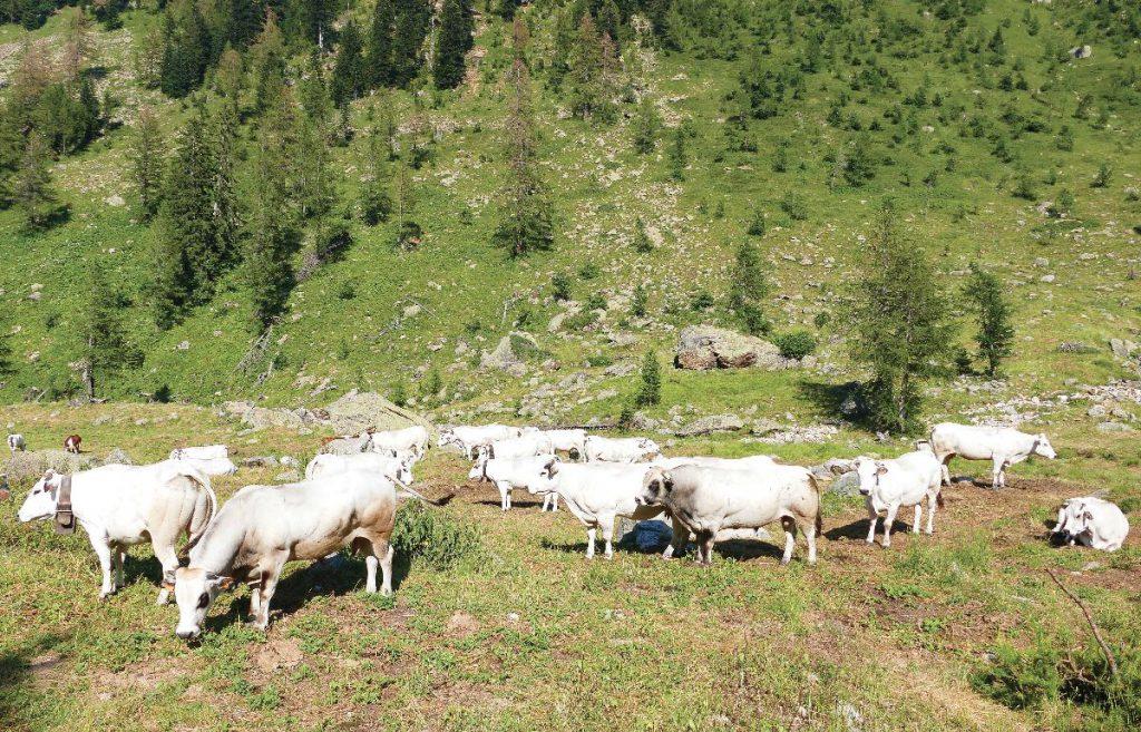 Vacche in alpeggio in una vallata cuneese