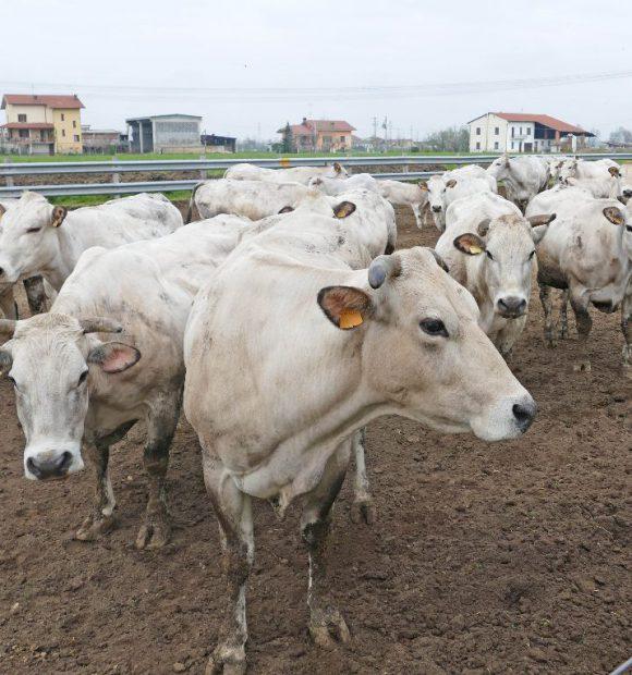 Un tipico allevamento di bovini di razza Piemontese in provincia di Cuneo