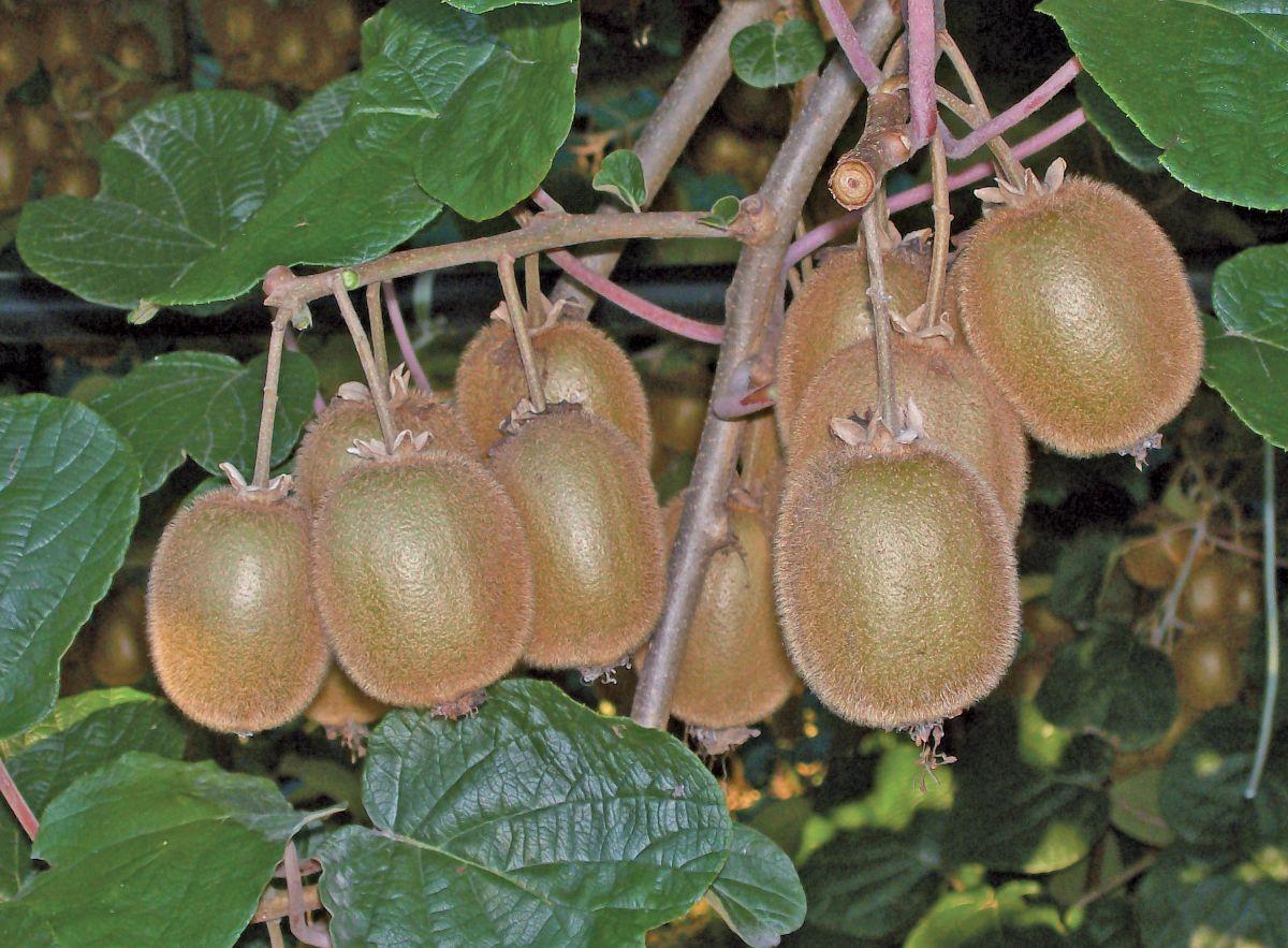 La maggior coltivazione di kiwi piemontesi è in provincia di Cuneo