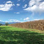 Campo di mais in provincia di Cuneo